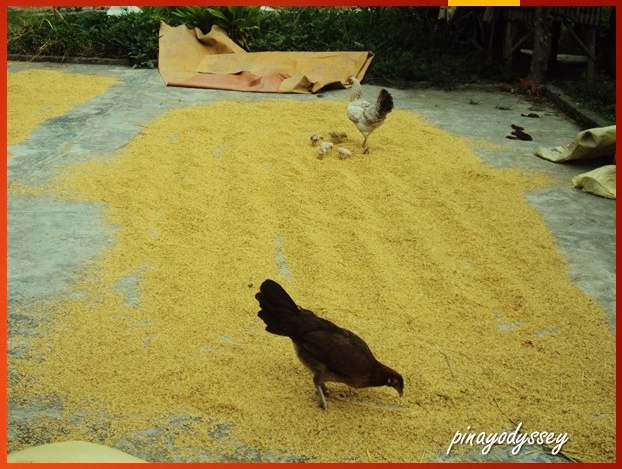 Rice grains being dried out.. or eaten by chickens XD