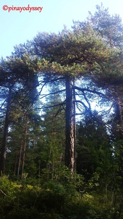 Norwegian trees