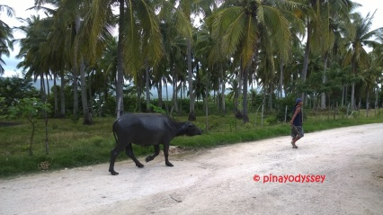 The carabao -- Philippine national animal