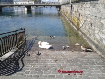 Swans, ducks, and little birds by the paved banks