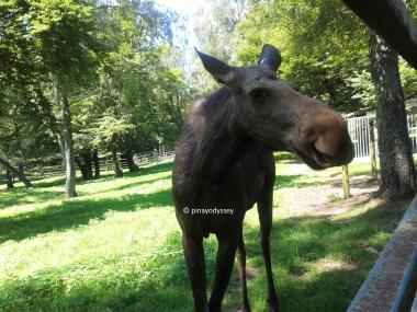 A cute moose :3
