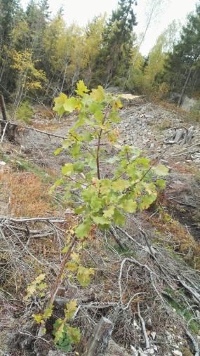 A little oak tree