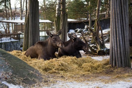 Elk having a cozy hay time!