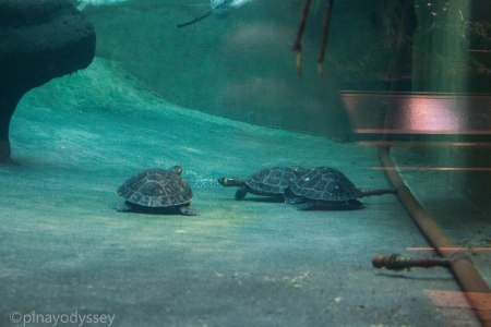 Turtles under water