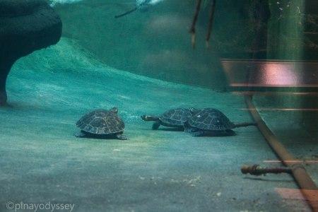 Turtles under water