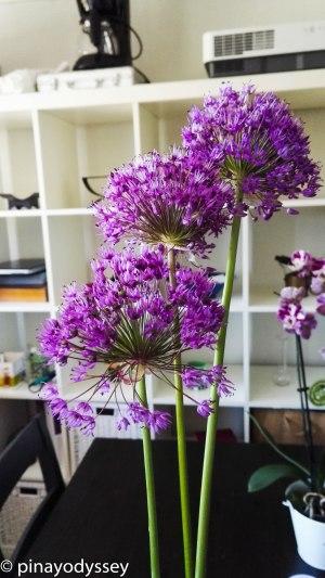 Allium 'Globus'