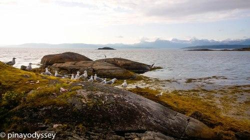 Wild birds feasting on the fish innards